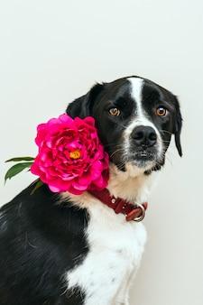 Retrato isolado de um lindo cão preto e branco, vestindo uma flor rosa em estúdio com fundo branco