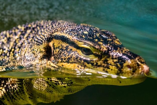 Retrato lagarto monitor grande na água, close-up.