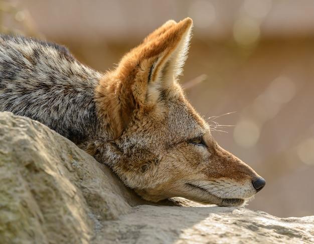 Retrato lateral de chacal de dorso negro (canis mesomelas) deitado em orelhas de pedra no zoológico