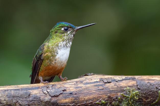 Retrato lateral de um colibri no tronco de uma árvore