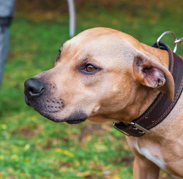 Retrato marrom pit bull terrier americano