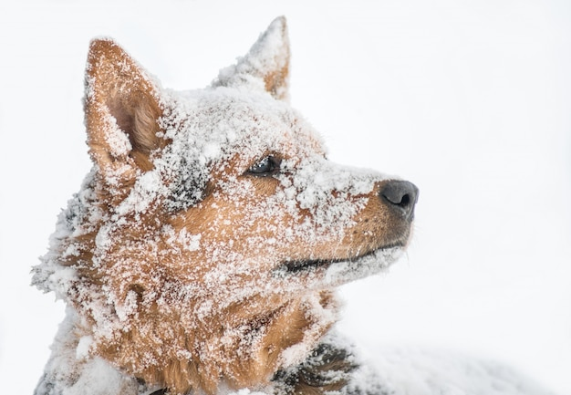 Retrato nevado do cão de carneiros no backround branco
