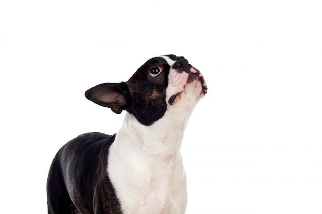 Retrato no estúdio de um bonito terrier de boston