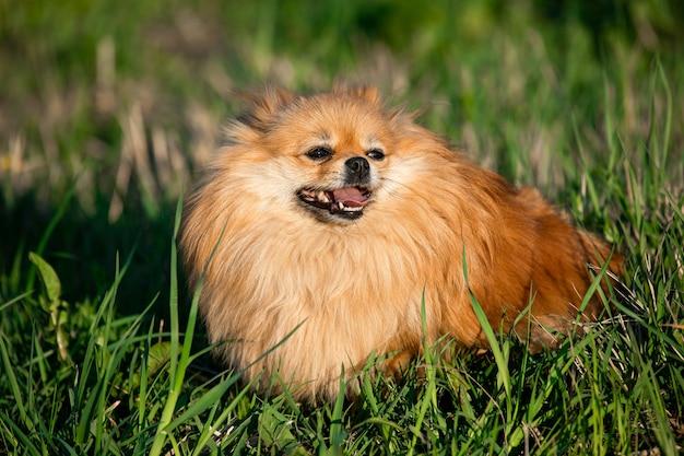 Retrato pomerânia vermelho bonito no fundo da grama verde, ao ar livre. dia de sol o cachorro sorri