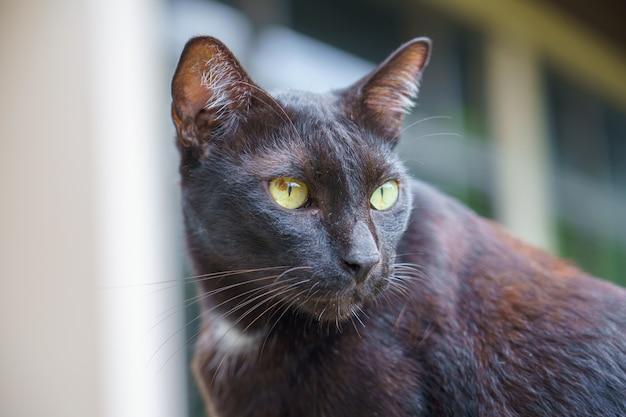 Retrato tailandês de gato preto e olhos amarelos, olhando para algo na natureza