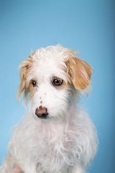 Retrato vertical de um adorável cão sem raça definida em um azul