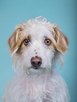 Retrato vertical de um adorável cão sem raça definida em uma parede azul