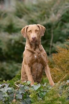 Retrato vertical de um típico cachorro chesapeake bay retriever na floresta
