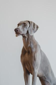 Retrato vertical de um tipo de cachorro weimaraner azul em um cinza