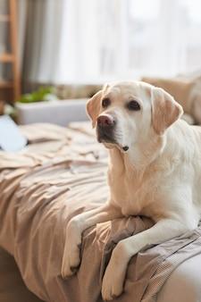 Retrato vertical em tons quentes de cachorro labrador branco deitado na cama em um interior aconchegante e iluminado pela luz do sol, copie o espaço