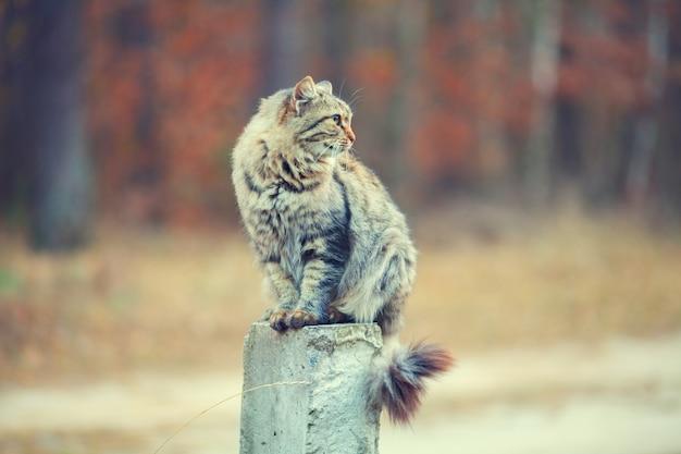 Retrato vintage de um gato siberiano sentado na coluna de concreto ao ar livre contra o fundo da floresta