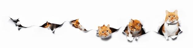 Retratos de colagem de um gato vermelho tentando passar por um buraco de papel branco rasgado. vista panorâmica do banner.