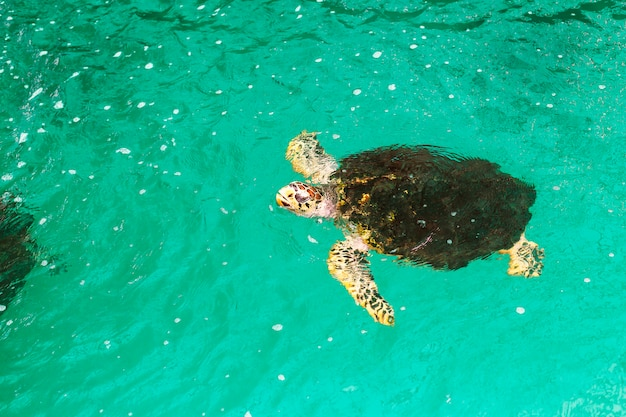 Retratos do close-up de esferas da tartaruga de mar em uma lagoa do berçário criada por conservacionistas.
