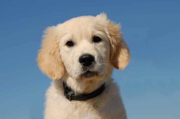 Retriever dourado cachorro