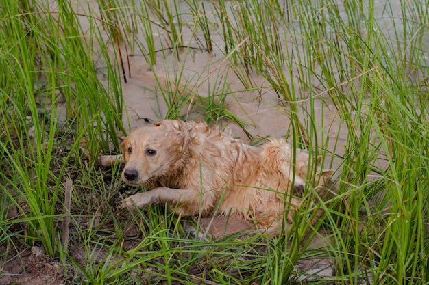 Retriever dourado feliz, lamacento e molhado ao ar livre