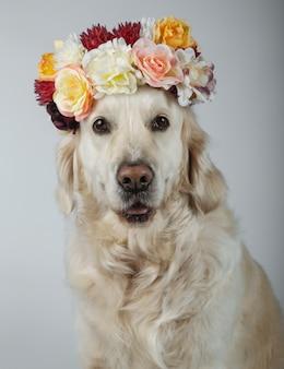 Retriever dourado lindo com uma coroa de flores