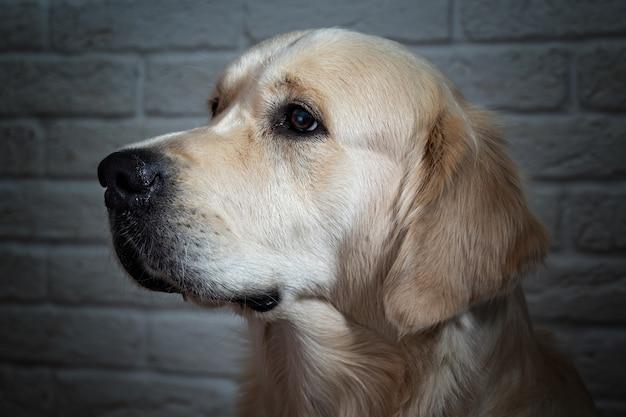 Retriever dourado, retrato de close-up de um cão