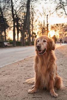 Retriever dourado, sentado na areia em um parque com o sol da tarde