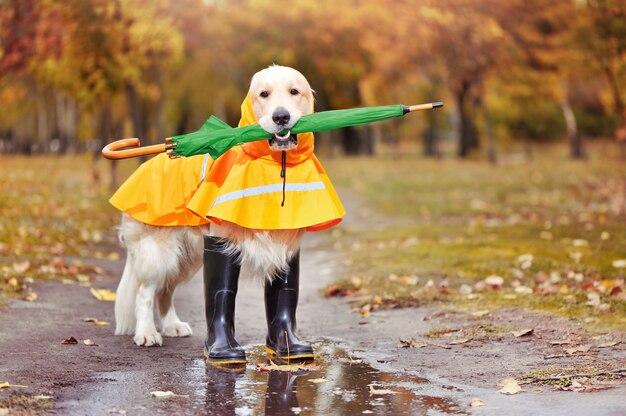 Retriever golder com guarda-chuva verde nos dentes