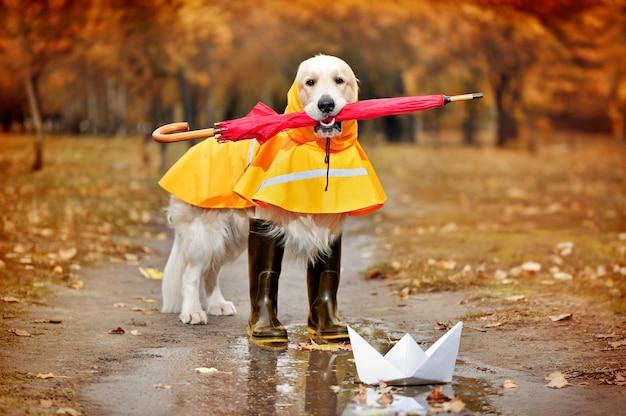 Retriever golder vestindo capa de chuva segurando guarda-chuva nos dentes