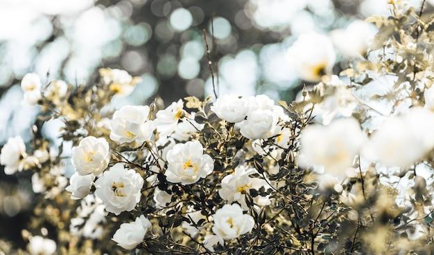 Retrô em tons naturais com close-up de roseira branca florescendo. floração de primavera e verão. beleza da natureza. foco seletivo.