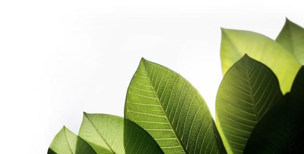 Retroiluminado folha verde fresca. isolado no fundo branco. luz solar natural brilhando através da árvore. conceito para o dia da terra e ecologia