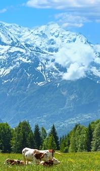 Reúna vacas na clareira em flor e no maciço montanhoso do monte branco (vale de chamonix, frança, vista dos arredores de plaine joux).