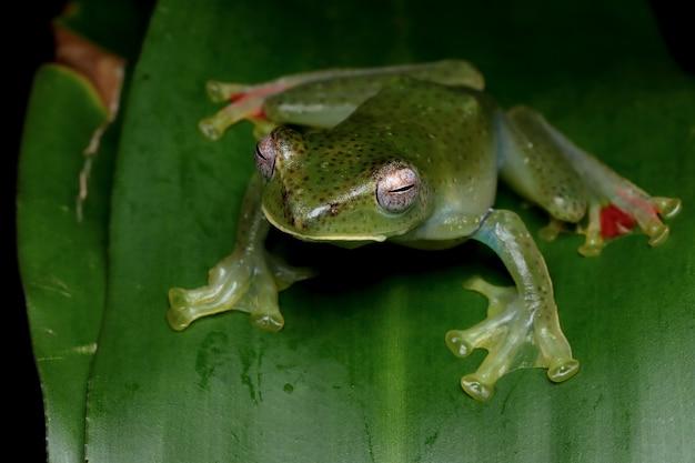 Rhacophorus prominanus ou a perereca malayan em folhas verdes