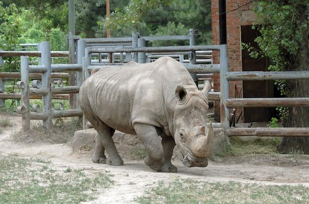 Rhino correndo em um caminho no paddock