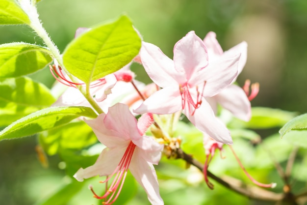 Rhododendron (azaléia) flores de várias cores no jardim primavera