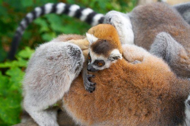 Ring tailed lemurs floresta ao ar livre
