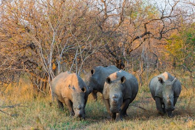 Rinoceronte ao pôr do sol em um safari na áfrica do sul