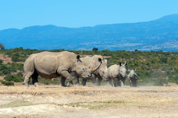 Rinoceronte branco africano, parque nacional do quênia