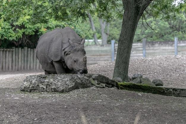 Rinoceronte branco caminhando em um campo cercado por bosques e vegetação sob a luz do sol