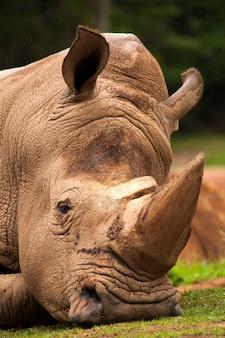 Rinoceronte branco closeup