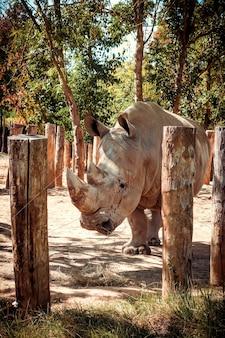 Rinoceronte branco de lábios quadrados em uma reserva natural