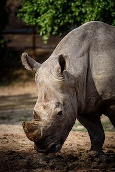 Rinoceronte branco do norte com rinoceronte branco do sul, quênia