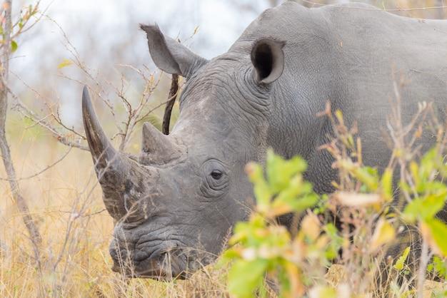 Rinoceronte branco e retrato com detalhes dos chifres