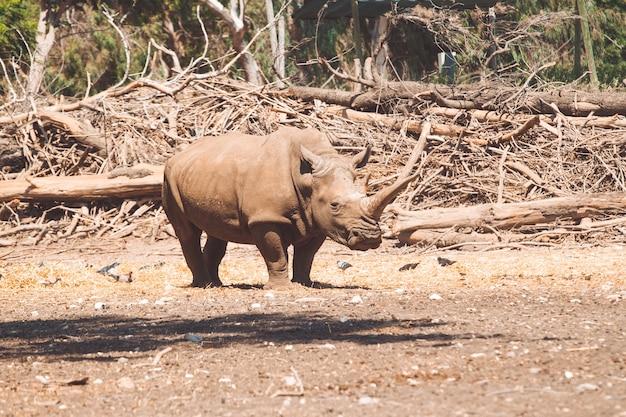 Rinoceronte branco em habitat natural