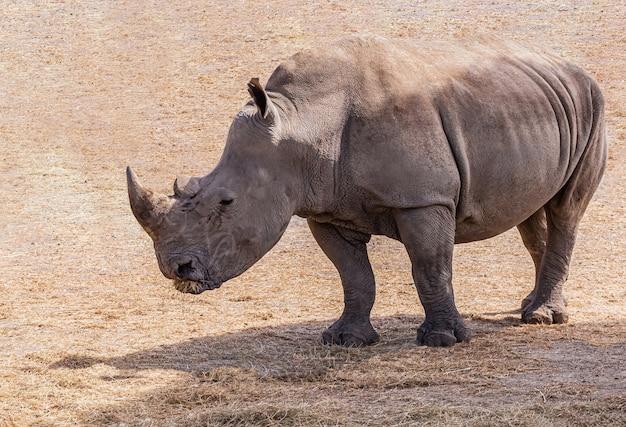 Rinoceronte-branco em pé ao sol