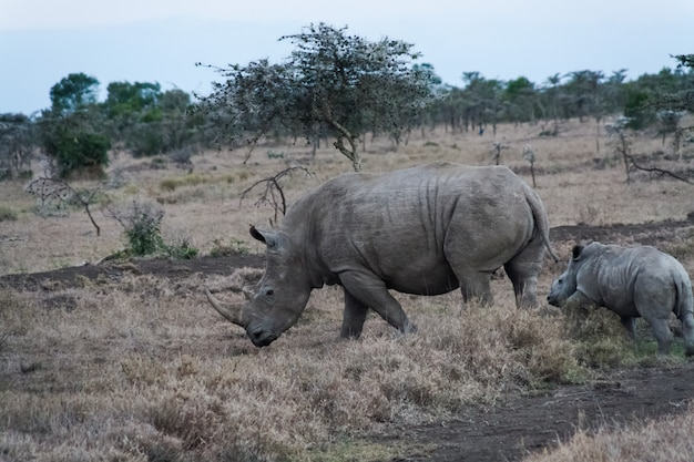 Rinoceronte branco grande com bebê. sweetwater, quênia