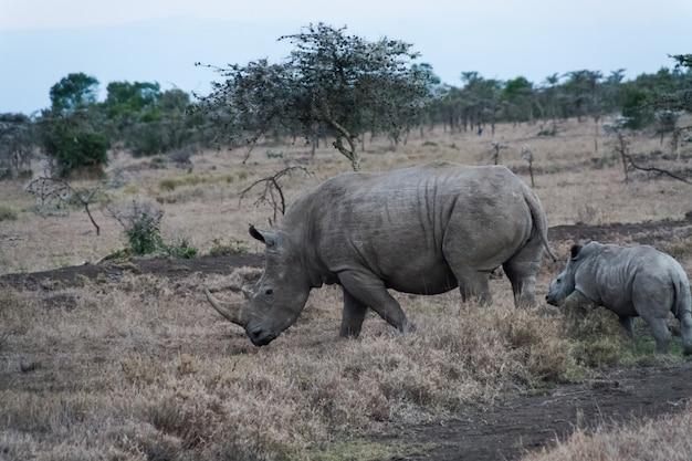 Rinoceronte branco grande com seu bebê