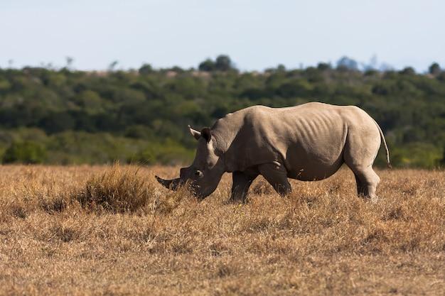 Rinoceronte branco grande pasta. quênia, áfrica