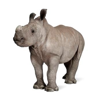 Rinoceronte branco jovem ou rinoceronte de lábios quadrados - ceratotherium simum em um branco isolado