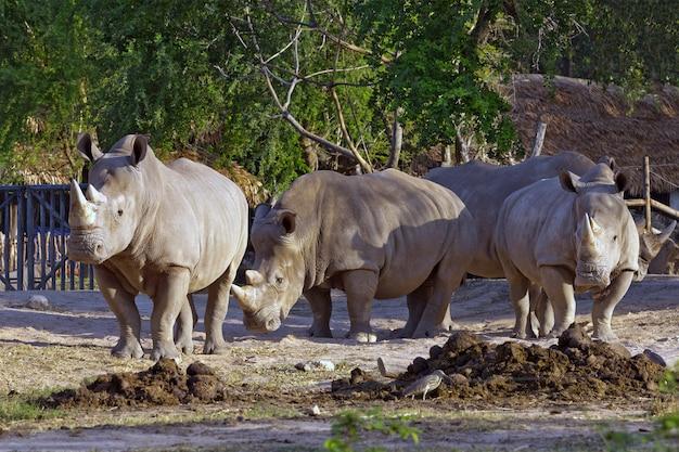 Rinoceronte branco na atmosfera natural do jardim zoológico.