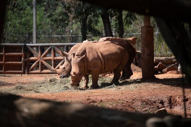 Rinoceronte branco no jardim zoológico