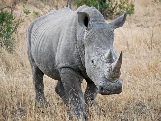 Rinoceronte-branco no parque nacional kruger - áfrica do sul