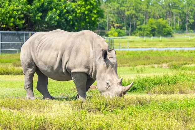 Rinoceronte branco, rinoceronte andando na grama verde