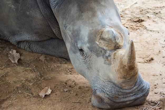 Rinoceronte descansando no fundo do solo