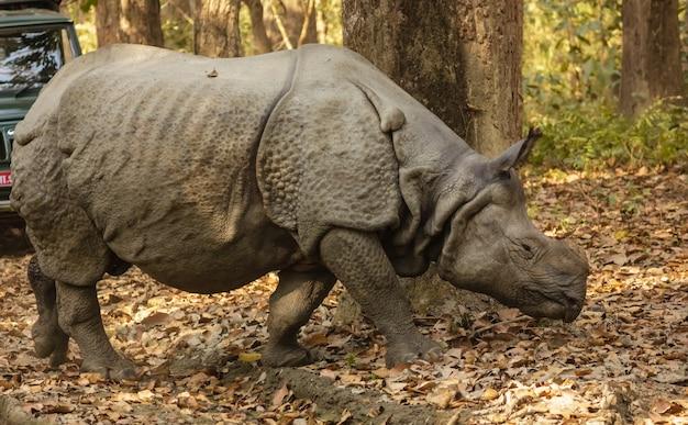 Rinoceronte indiano caminhando em uma floresta coberta de vegetação sob o sol